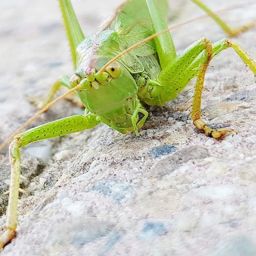 Insect Animal Themes Close-up Grasshopper Animal Eye Animal Antenna