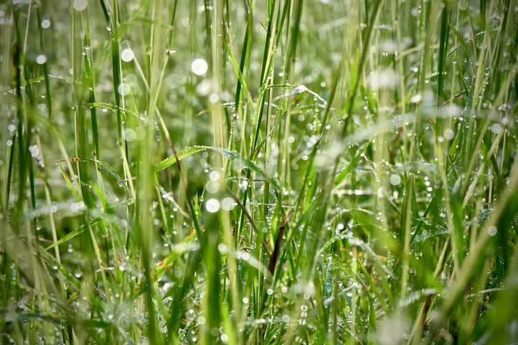 Plant Growth Wet Green Color Field Water Freshness Beauty In Nature Drop Nature Land Grass Selective Focus Day No People Close-up Outdoors Full Frame Tranquility Dew Rain Blade Of Grass RainDrop Purity