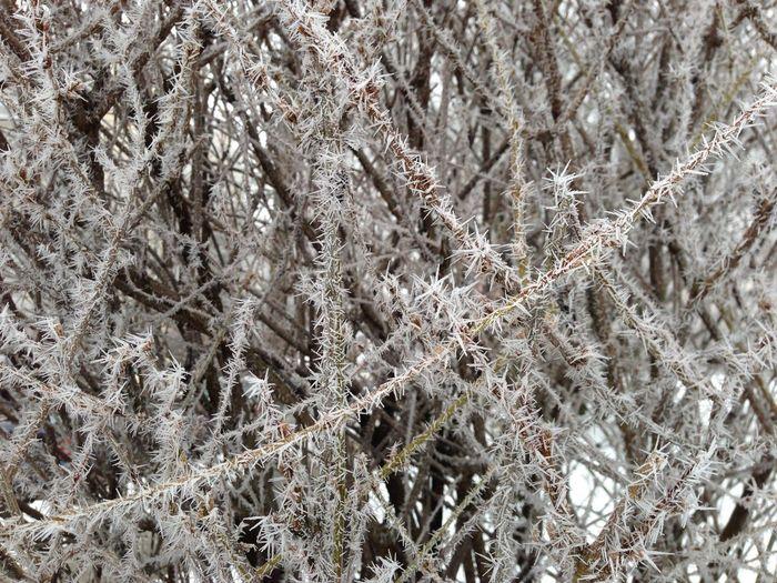 Icy shrub Shrub