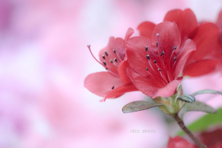 EyeEmBestPics Eye4photography  EyeEm Best Shots Flowers, Nature And Beauty Flower Head アザレア Pink Color Flower Petal Fragility Nature Blossom Flower Head Red Close-up Beauty In Nature