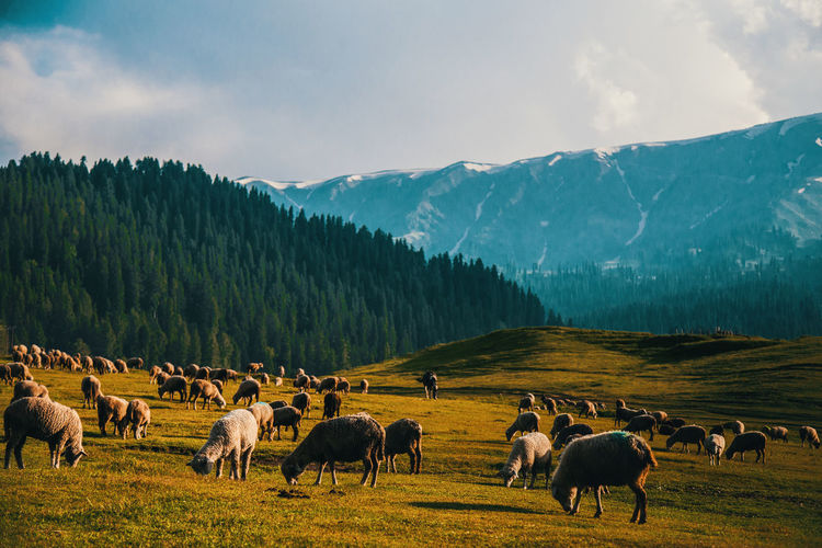 sunset at gulmarg Colours Kashmir , India Incredible India Mountain Mountains Sheep Sunset Zonesystem EyeEmNewHere