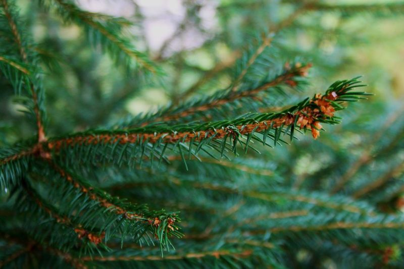 Plant Green Color Close-up Tree Growth Nature Leaf Focus On Foreground Selective Focus Coniferous Tree Beauty In Nature Pine Tree No People Pinaceae Outdoors Day Plant Part Branch Insect Needle - Plant Part