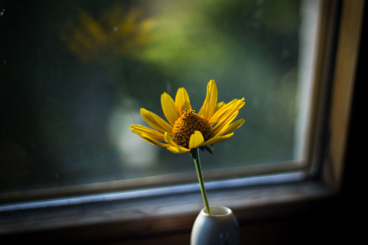 Beauty In Nature Blooming Blossom Close-up Daisy Day Flower Flower Head Focus On Foreground Fragility Freshness Glass - Material Growth In Bloom Indoors  Nature Petal Single Flower Springtime Stem Sunbeam Transparent Window Window Sill Yellow