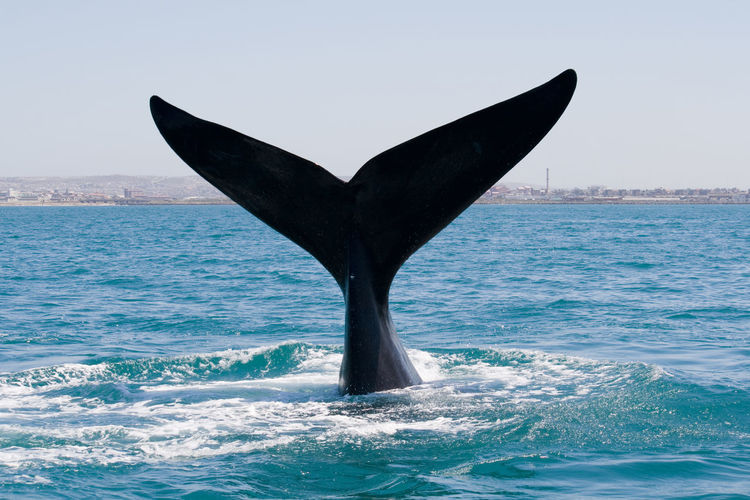 Animal Fin Animal Themes Aquatic Mammal Day Diving Into Water Horizon Over Water Mammal Nature Ocean One Animal Outdoors Safari Sea Sea And Sky Sea Life Sky Southern Right Whale Tail Tail Fin Water Whale