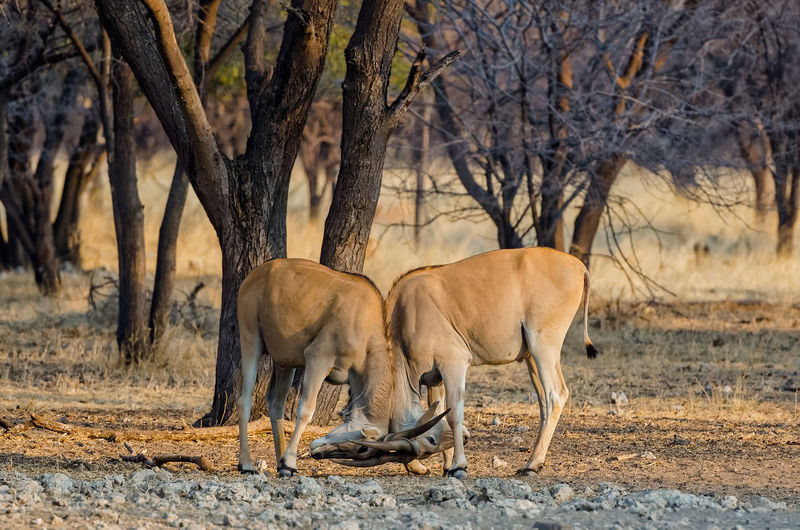 Side view of fighting elands