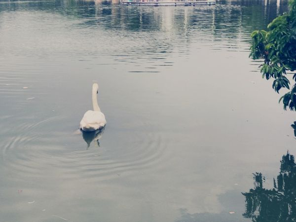 Animals In The Wild Water Animal Themes One Animal Lake Day Reflection Outdoors Waterfront Nature Swimming Bird Animal Wildlife Swan No People