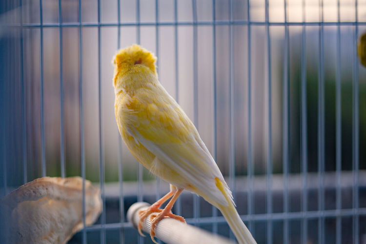 close up of a caged yellow canary bird Animal Animal Themes Bird Vertebrate Cage One Animal Animals In Captivity Parrot Human Hand Animal Wildlife Hand Birdcage Close-up Human Body Part Focus On Foreground Pets Perching Domestic Day Budgerigar Canary