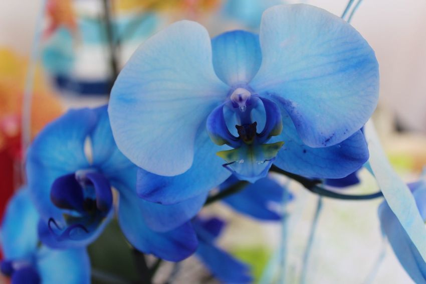 Flower Petal Beauty In Nature Fragility Flower Head Nature Close-up Plant Growth No People Blue Focus On Foreground Freshness Blooming Outdoors Day Blu Canon EOS 1300D Colore Blue Orchids Orchidee