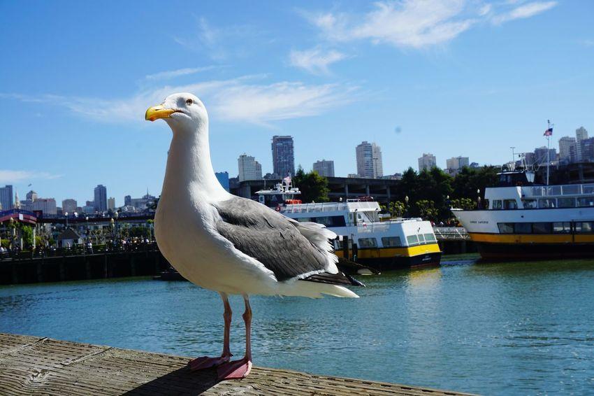 Water City Bird Animal Themes Seagull Travel Destinations Seaview San Francisco Pier 39 Cityscape Architecture