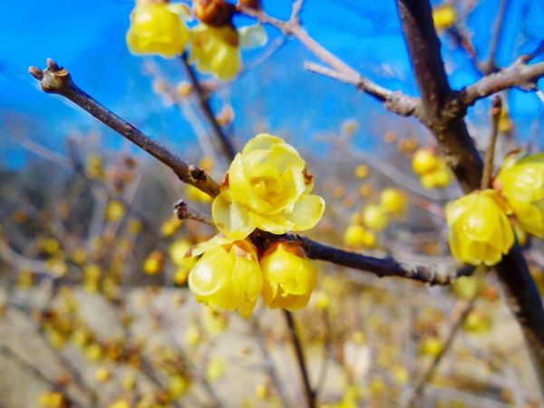 Chimonanthus Flower Japan Yellow Compact Digital Camera HitachiSeaSidePark ソシンロウバイ? 国営ひたち海浜公園 Today ロウバイ