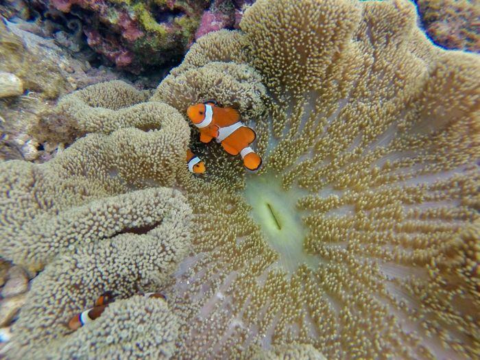 I found nemo! Gopro Goprohero3plus Underwater Clownfish Snorkeling Underwater Photography