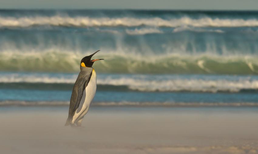 Penguin walking at beach