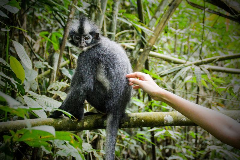 Close-up of human hand touching a thomas leaf monkey