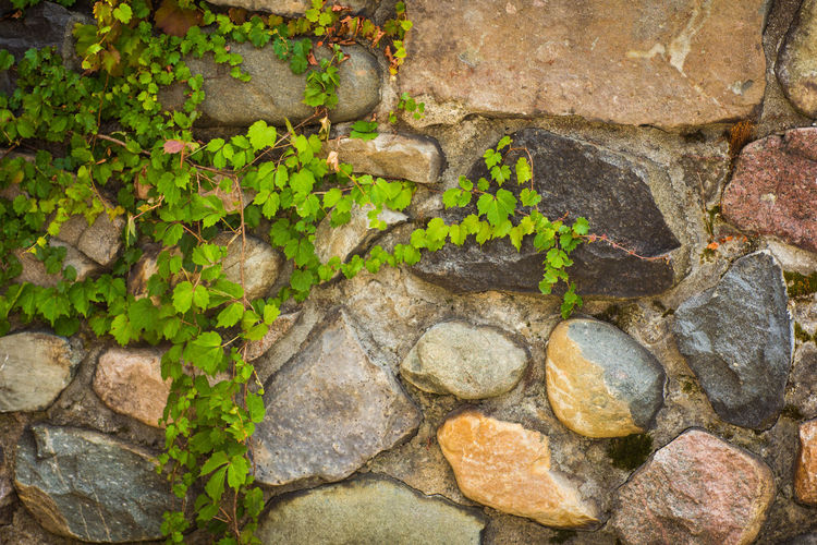 Close-up of ivy growing on rock