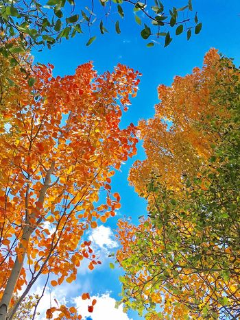 The color of fall Tree Low Angle View Change Autumn Season  Branch Growth Beauty In Nature Scenics Nature Clear Sky Orange Color Blue Day Tranquility Outdoors Sky Vibrant Color Tranquil Scene Tall - High