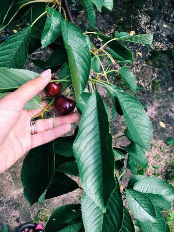 Cherrypicking Summer16