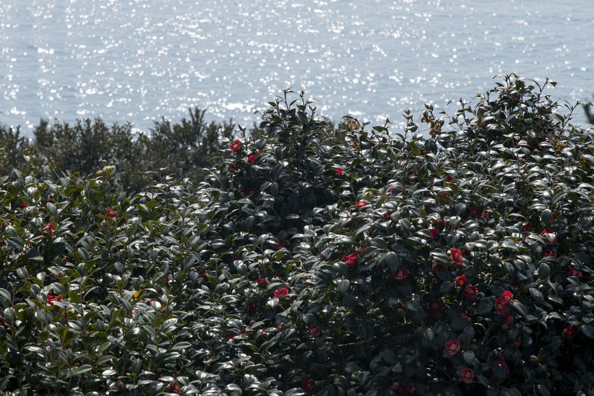 camellia flowers with sea background at Jangsado Island in Tongyeong, Gyeongnam, South Korea. Taken with Nikon D850 Camellia Camellia Japonica Nature's Beauty Nikon D850 South Korea Beauty Of Nature Camellia Flower Camellia Trees D850 Jangsado Outdoor Outdoor Photography Outdoors Sea Background Spring Spring Flower Spring Flowers Spring Time