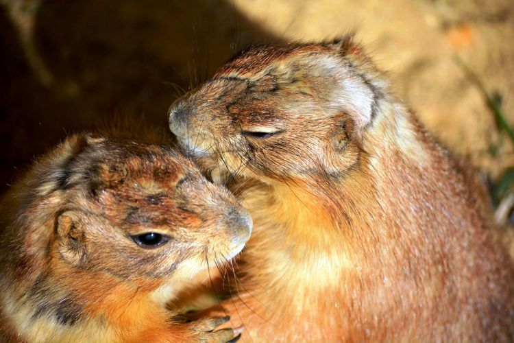 Two brown rodents standing and kissing