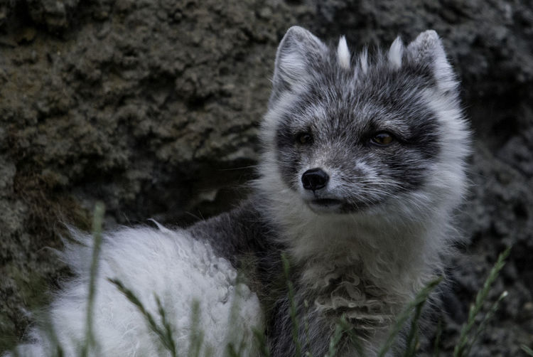 Arctic fox standing against rock formation