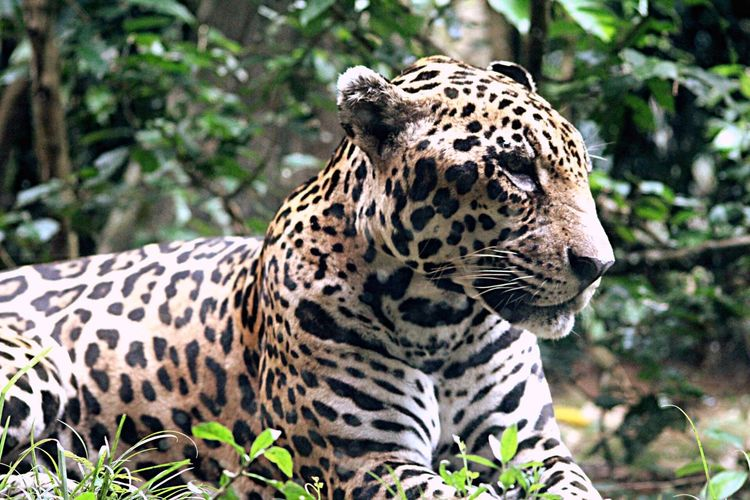 EyeEmNewHere Travel Wander Mind Cat Family Wildlife Photography JAGUAR Animal Animal Wildlife Animal Themes One Animal Big Cat Animals In The Wild Mammal Cat Spotted Nature Carnivora Vertebrate