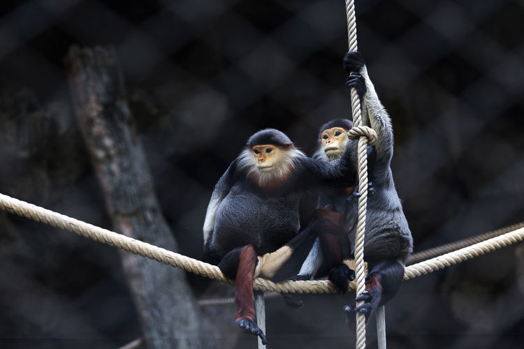 Red-shanked douc (Pygathrix nemaeus) Pygathrix Nemaeus Red-shanked Douc Animal Animal Family Animal Themes Animal Wildlife Branch Focus On Foreground Group Of Animals Mammal Monkey Nature Outdoors Primate Rope Two Animals Vertebrate Zoo