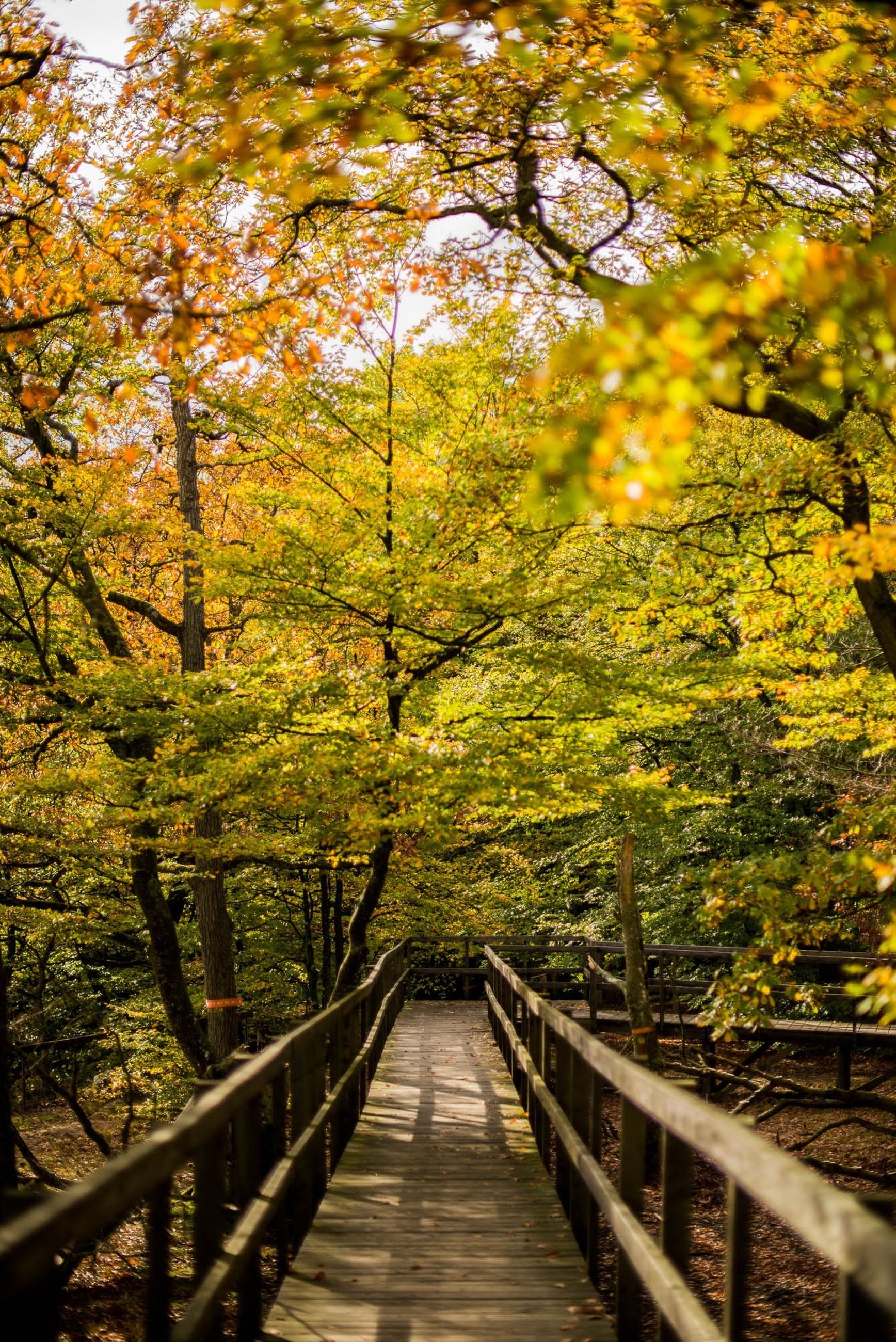 tree, railing, the way forward, footbridge, autumn, tranquility, change, nature, growth, beauty in nature, branch, tranquil scene, forest, scenics, season, diminishing perspective, connection, wood - material, yellow, bridge - man made structure