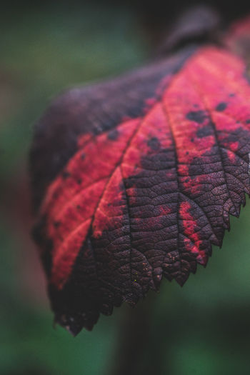 Plant Part Leaf Close-up Autumn Focus On Foreground Leaf Vein Nature Vulnerability  Fragility Dry Change Plant Day Selective Focus No People Red Natural Pattern Beauty In Nature Outdoors Tree Leaves
