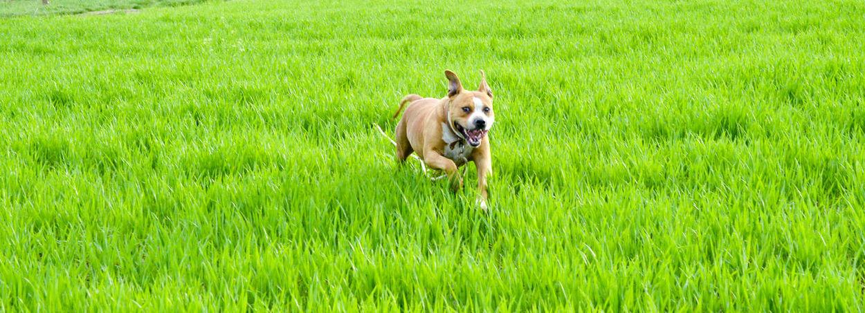 amstaff running on a wheat field Amstaff Green Happy Dog Nature Wheat Field American Staffordshire Terrier Pet Purebred Dog Running Dog Staffy Staffy Love