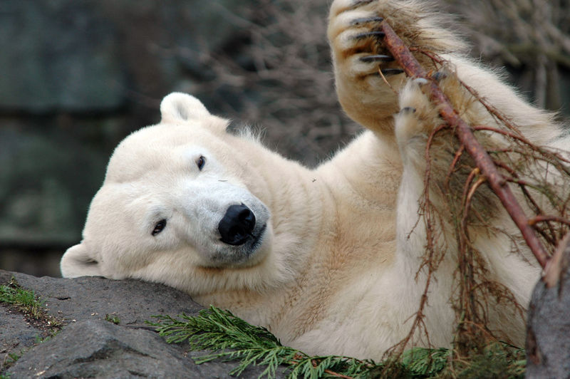 Close-up of polar bear lying on rock