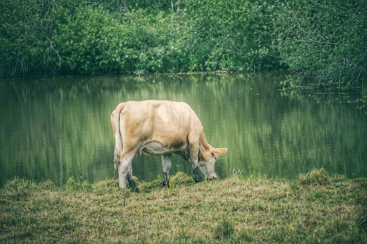 Side view of cow drinking water