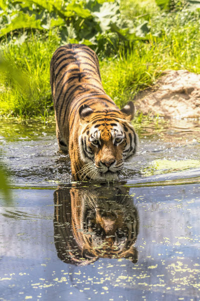 Siberian tiger Animal Animal Photography Animal Themes Animal Wildlife Animals Big Cat Big Cat Tiger Photo Big Cats Siberian Tiger  Tiger Tiger Love Tiger-love Tigers Wildlife Wildlife & Nature Wildlife Photography Zoo Zoo Animals  ZOO-PHOTO Zooanimals ZooLife Zoology Zoophotography