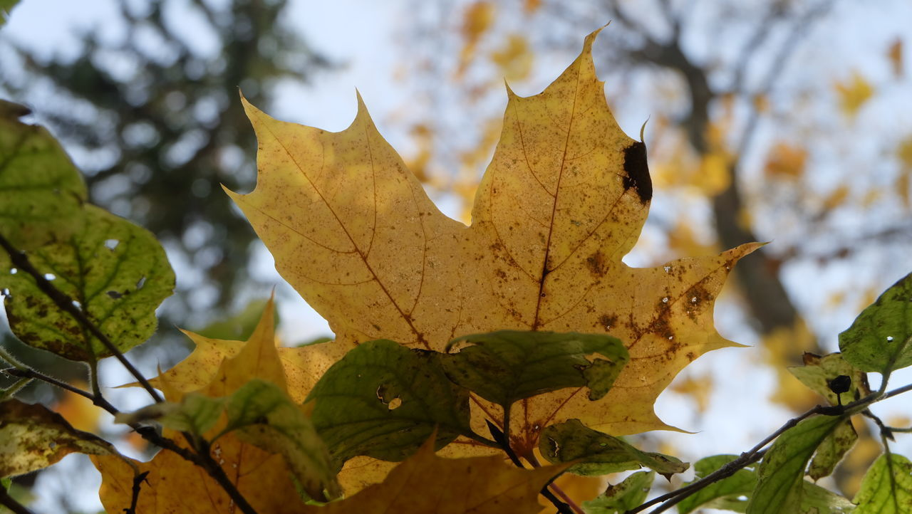plant part, leaf, autumn, plant, change, tree, nature, close-up, growth, leaves, no people, maple leaf, day, beauty in nature, focus on foreground, leaf vein, branch, selective focus, outdoors, yellow, autumn collection, natural condition