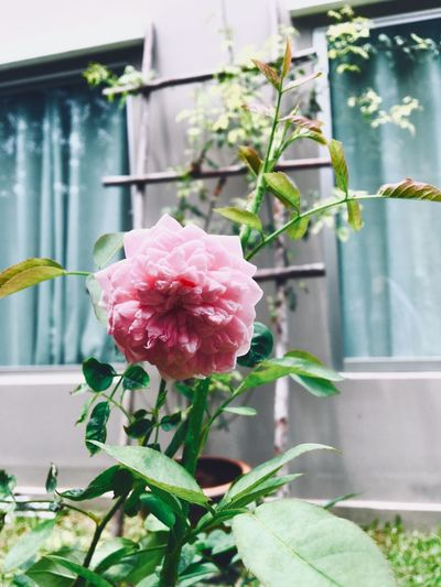Rose🌹 Plant