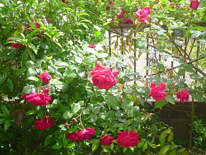 Little roses in Villa Borghese park in a summer day in Rome