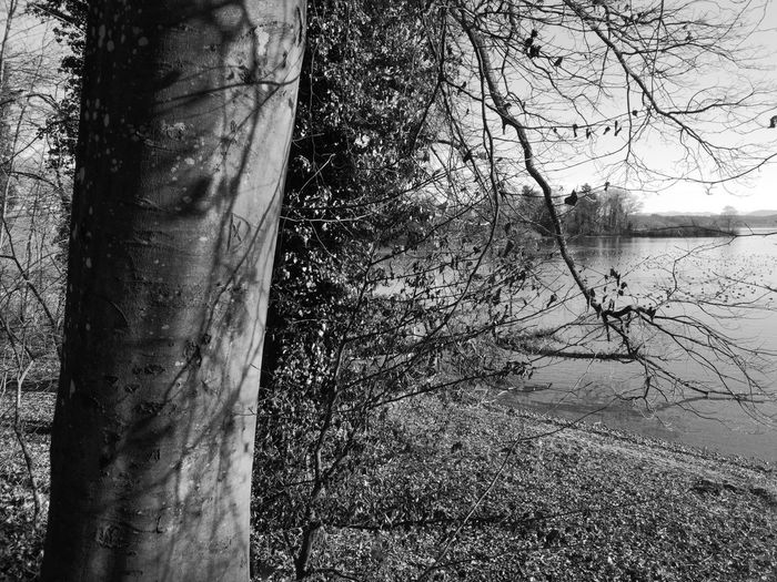 Tree trunk by lake in forest