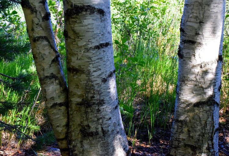 Birch trees.