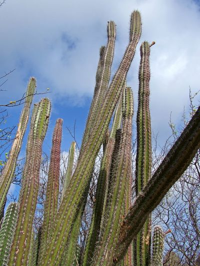Plant Growth Sky Cactus Nature No People Beauty In Nature Low Angle View Day Tranquility Outdoors Green Color Thorn Tall - High Saguaro Cactus Land