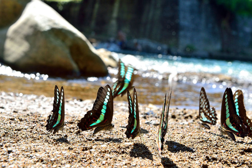 Green butterfly free to fly in the stream water foraging. Earth Fly Natural Animal Themes Beach Bleu Butterfly Butterfly Close-up Comfortable Day Ecology Focus On Foreground Foraging Nature No People Outdoors Sand Soil Water