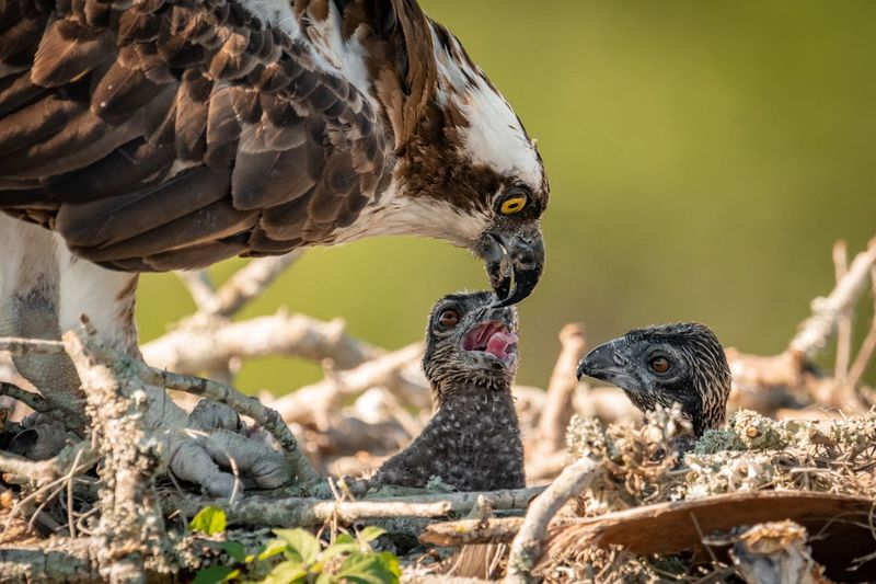 Close-up of osprey feeding young birds in nest