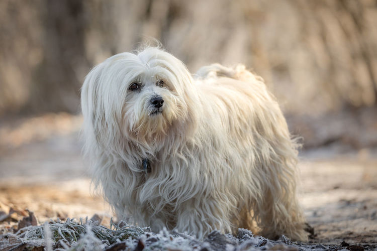 Animal Hair Animal Themes Close-up Day Dog Domestic Animals Mammal Nature No People One Animal Outdoors Pets West Highland White Terrier