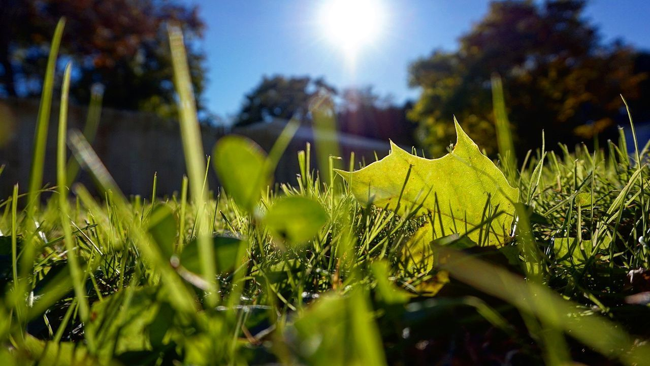 plant, growth, sunlight, nature, selective focus, green color, field, sky, close-up, grass, beauty in nature, plant part, no people, leaf, day, land, sun, sunny, outdoors, lens flare, bright, blade of grass, leaves