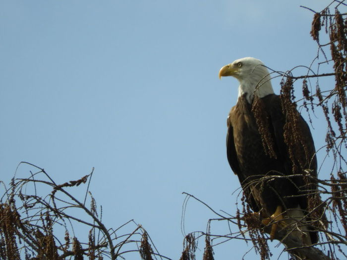 Bald Eagle Bald Eagle In Tree Eagle - Bird Eagle Eagle On Branch Bald Eagle Perched Bird Watching Birds Wildlife Birds Of EyeEm  Nature Calm Tranquility Tranquil Scene Outdoors Beauty In Nature Nature Photography Bird Photography Blue Sky Bird Of Prey Bird Perching Tree Tranquil Scene Beak Feather