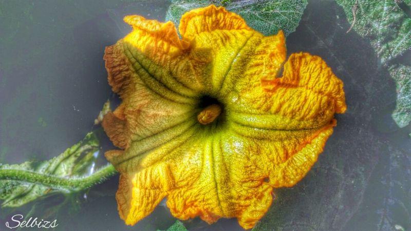 Taking Photos Photo Editing Flowers Pumpkin Blossom