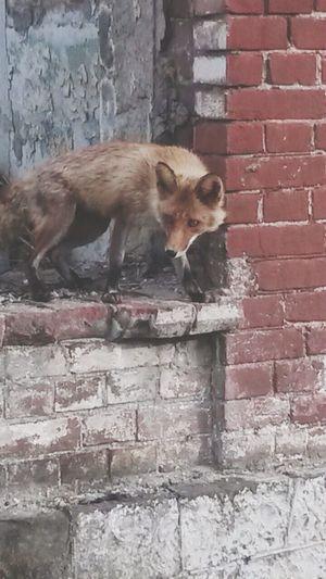 Владивосток. Остров Русский  Animal Fox