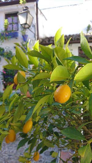 Fruit Fruit Naranja Orange Patios De Córdoba Patios Invierno Colors Leaf Fruit Freshness Lemon Tree