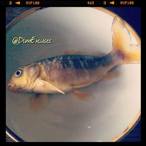 Poor old heartattack (unfortunate name for fish). Passed away today at 7 years old. Fish Goldfish Ghostcarp