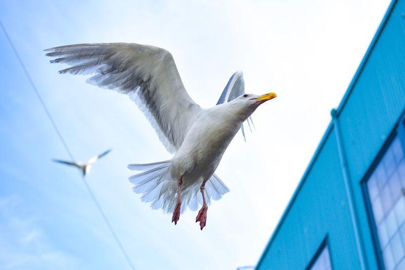 Seagull 35mm