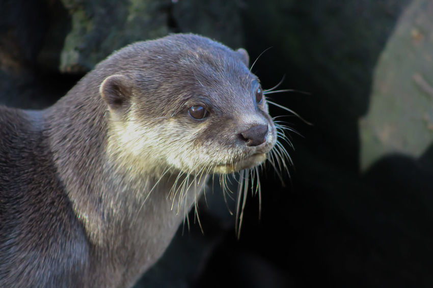 Animal Themes Animal Wildlife Animals In The Wild Close-up Day Mammal Nature No People One Animal Outdoors Short Clawed Otters Whisker