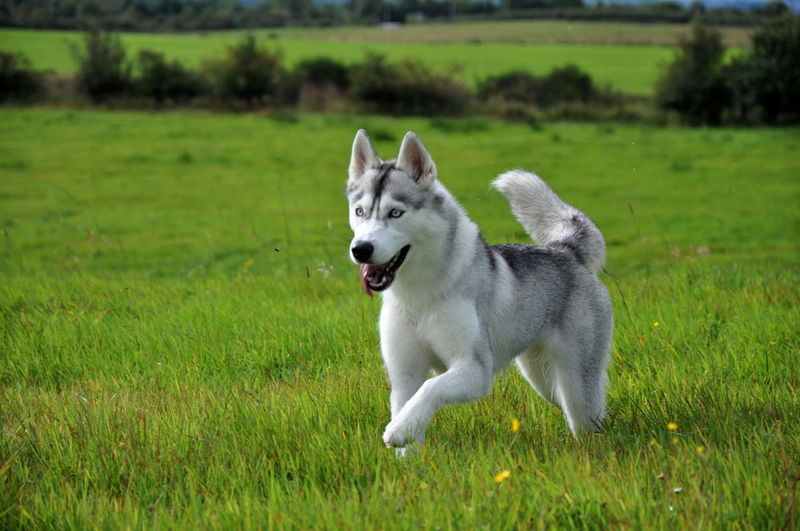 Alaskan Blue Eyes Malamute Syberian Husky Animal Themes Day Dog Domestic Animals Field Focus On Foreground Full Length Grass Green Color Growth Mammal Motion Nature No People One Animal Outdoors Pets Siberian Husky Wolf
