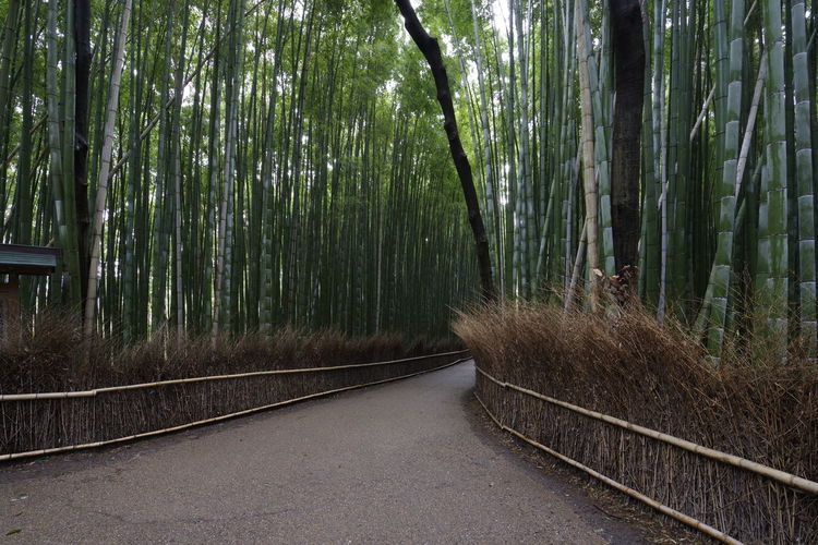 bamboo forest in kyoto japan Japan Japan Photography Japanese Culture Japanese  Shiga Shiga,Japan Shiga Prefecture Bamboo Grove Bamboo Forest Bamboo - Plant Bamboo Tree Kyoto Kyoto Japan Plant Tree Forest Direction Land Bamboo Growth The Way Forward Nature No People Tranquility Road Green Color Transportation Beauty In Nature Day Tranquil Scene Non-urban Scene Outdoors WoodLand